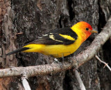 Western Tanager, male, Little Naches   AEZ10451 copy.jpg