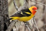 Western Tanager, male, Little Naches   AEZ10455 copy.jpg