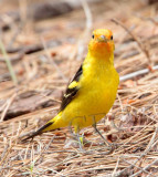 Western Tanager, male, Little Naches   AEZ10462 copy.jpg