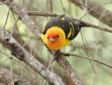 Western Tanager, male, Little Naches   AEZ10464 copy.jpg