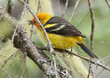 Western Tanager, male, eating spider, Little Naches   AEZ10466 copy.jpg