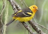 Western Tanager, male, Little Naches   AEZ10471 copy.jpg