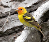 Western Tanager, male, Little Naches   AEZ10478 copy.jpg