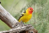 Western Tanager, male, Little Naches   AEZ10486 copy.jpg