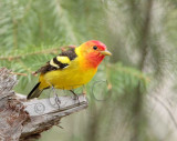 Western Tanager, male, Little Naches   AEZ10489 copy.jpg