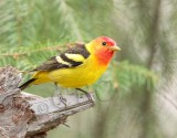 Western Tanager, male, Little Naches   AEZ10498 copy.jpg