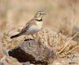 Horned Lark, transitioning to adult plumage  CRW_3365 copy.jpg