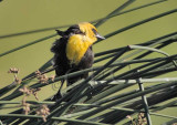 Yellow-headed Blackbird, in stiff breeze   CRW_3679 copy.jpg