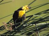 Yellow-headed Blackbird, singin in stiff breeze  CRW_3682 copy.jpg