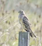 Northern Harrier  _T4P2913.jpg