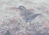 Varied Thrush, juvenile in fog  AEZ29775.jpg