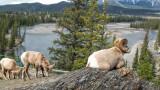Bighorn of Jasper