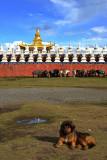 Tibetan Mastiff 藏獒