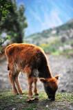 Calf 小牛