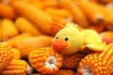 Maize Lover 愛玉米