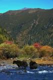 Herds Crossing River 犛牛渡河
