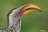 Calao leucomèle, Southern Yellow-billed Hornbill (Parc Kruger, 20 novembre 2007)
