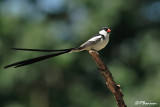 Veuve dominicaine, Pin-tailed Whydah (Underberg, 10 novembre 2007)