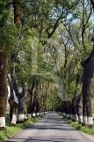 Alameda dos Freixos (Árvore de Interesse Público)
