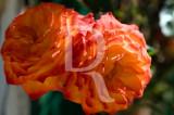 As Rosas da Palhota