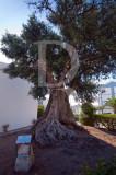 A Oliveira de Santa Iria de Azóia (Árvore de Interesse Público)