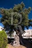 Árvore com mais de 2800 anos