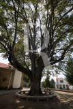 Tília Prateada - Tilia tomentosa Moenchen (Árvore de Interesse Público)