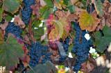 The Port Wine Grapes