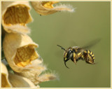 HYMENOPTERAE  (abeilles, guêpes, frelons - bees, wasps, hornets)