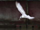 White winged Tern
