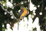 Orange breasted Babbler