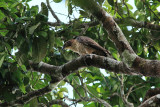 Blyths hawk eagle Jr.