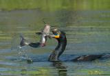 Anhinga's, Cormorants and Pelicans