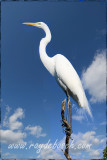 A great egret, at the Keys