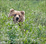 Grizzly peek-a-boo