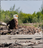 Bald eagle at Chilkat River, AK