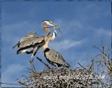 Great blue heron mating ritual