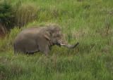 Asian Elephant - Elephas maximus indicus
