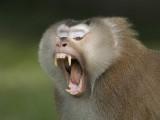 Northern Pig-tailed Macaque - Macaca leonina
