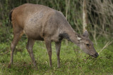 Sambar Deer - Rusa unicolor