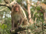 Long-tailed Macaque - Macaca fascicularis