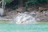 n6881 Hunting pelican