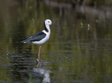 pied stilt at local wetlands