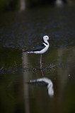 pied stilt shame about the reflection
