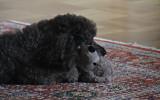Roxie med sin snuttefilt, en grå tygpudel från IKEA