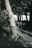 my favorite tree in vertical view