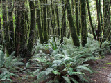 Ferns on the Forest Floor (0520X)