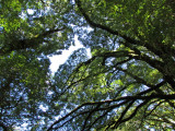 Forest Canopy on Blue Pools Walk (0528X)