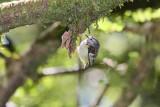 Grey Warbler (8823)