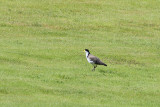 Spur-winged Plover (8854)
